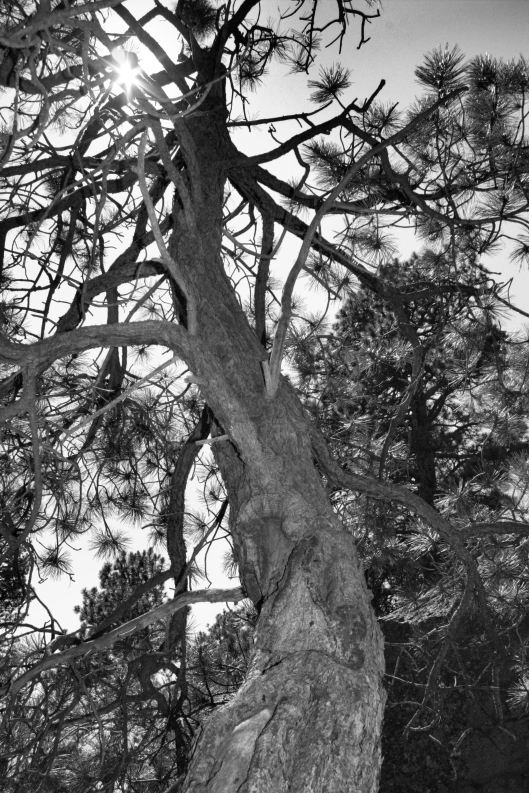 wizened tree at devils tower