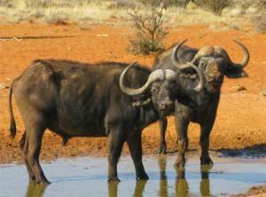 African-Water-Buffalo-vjosu